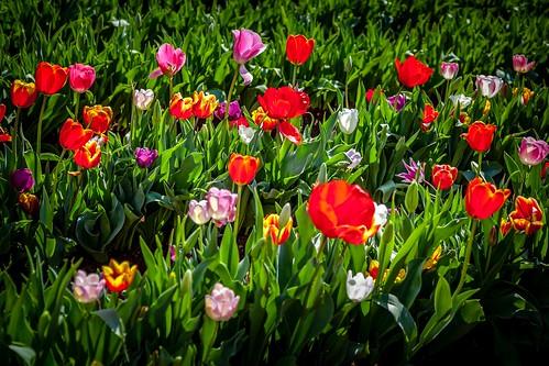 Silvan Tulip Festival-19