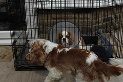 bloody screws (Bogart Cat) Tags: his after operation oadby kingcharlescavalier brownandwhitedog oadbydog