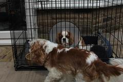 bloody screws (Bogart Cat) Tags: his after operation oadby kingcharlescavalier brownandwhitedog oadbydog