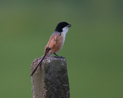 Long-tailed Shrike  (Lanius schach) (Lip Kee) Tags: laniusschach longtailedshrike laniusschachtricolor