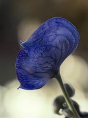 Blue (Tracey Rennie) Tags: blue autumn fall blossom bloom monkshood aconitum intheyard wolfsbane macromondays