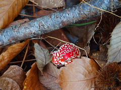 Fly Agaric (rgrant_97) Tags: autumn portugal leaves forest centro outuno fungus serra floresta lousã