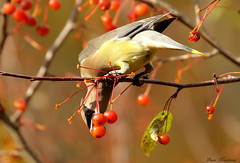 Going For It (Diane Marshman) Tags: autumn red brown white motion black tree bird fall nature face leaves yellow fruit wings movement branch mask feeding action head pennsylvania eating wildlife side tail gray feathers tan crest size pa cedar tips medium reach northeast waxwing crabapples
