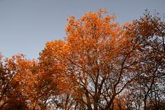 autumn rain (pineider) Tags: autumn leaves yellow foglie leaf europa europe boobs euro titts amarillo giallo topless autunno otono