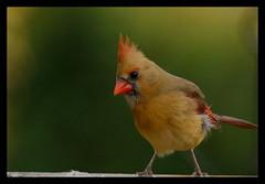 Northern Cardinal (jdcalvin096) Tags: red minnesota cardinal feathers northern egglaying naturescreations