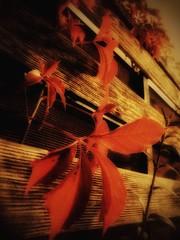 Herbstlicher Zaun (mheckerle) Tags: golden leaf blatt leafs bltter