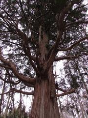 Nagano, Nagano '15 #30 (tt64jp) Tags: tree history japan forest japanese shrine religion cedar sacred  spiritual  shinto  nagano japon sanctuary    sacredtree     togakushi    lhistoire    togakushishrine   fushiogami
