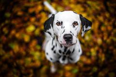 Anila <3 (Clarissa Scheffler) Tags: autumn dog pet cute beautiful leaves animal photo forrest sweet laub herbst hund points dalmatian wale dalmatiner petphotography punkte dalmatianlove