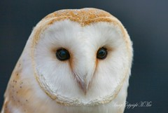 Tyto alba (nondesigner59) Tags: portrait nature closeup archives captive barnowl tytoalba eos50d nondesigner nd59 copyrightmmee