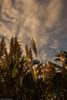 Cortaderia-Selloana (jeannyre) Tags: paisaje plumeros naturalezaviva cortadeiraselloana