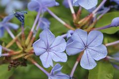 Plumbago (Luke Savage) Tags: flower water rain plumbago