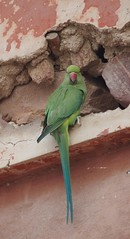 long-tailed green parrot and Sikander, agra (bearlike1) Tags: bird birds wildlife animal animals nature natural monument historical india indian ruin awesome amazing wonderful outside outdoors agra new delhi