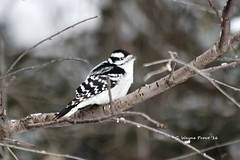 Downy Woodpecker (Picoides pubescens)(female) (Gerald (Wayne) Prout) Tags: downywoodpecker picoidespubescens animalia chordata aves piciformes picidae picoides pubescens photographed herseylakeconservationarea cityoftimmins northeasternontario canada prout geraldwayneprout canon canoneos60d downy woodpecker hersey herseylake conservation conservationarea area timmins ontario ontarione northeastern northernontario birds female