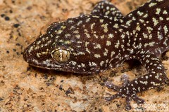 Pachydactylus maraisi - Marais Gecko. (Tyrone Ping) Tags: pachydactylus maraisi gecko pachydacylus namib namibia african south herps herping herpetology travel wwwtyronepingcoza tyrone ping wild wildherps wildanimals macro canon7d canon 100mmmacrof28 mx mt24ex