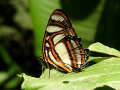 White-banded Page (d_taron) Tags: butterflies ecuador orellana nymphalidae nymphalinae metamorpha metamorphaelissa