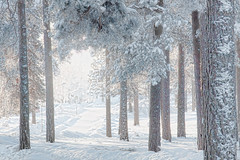 More cold  SS (BirgittaSjostedt) Tags: winter cold haze tree wood snow texture paint sliderssunday birgittasjostedt magicunicornverybest ie outdoor