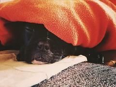 Sonnellino (Alabama Song) Tags: dog pet sicily bulldog