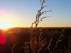 (Ashley Humiston) Tags: sunset kansas cornfield weeds nature outdoors adventure explore southwest