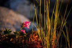 Flowers near Sharktooth Creek (speedcenter2001) Tags: wilderness anseladamswilderness california sierranevada sierra sierraphile highsierra mountains outdoor hiking backpacking backcountry