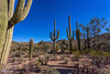 IMG_6423-Bearbeitet (dominikborsch) Tags: tucson arizona usa saguaros saguaronationalpark nature nationpark landscape landschaft desert wüste kaktus cactus
