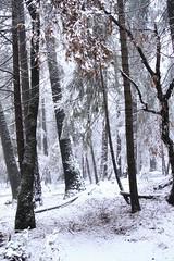 Jan 23, 2017 (qorp38) Tags: snow tree winter landscape woodlands