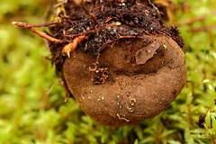 Päris hirvepähkel, teraline hirvepähkel, nõmmekartul (Elaphomyces granulatus). (Imbi Vahuri) Tags: imbivahuri fungi seened ascomycota kottseened elaphomycetaceae hirvepähklilised