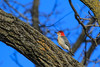 Red-bellied Woodpecker hopping along a tree (sully5604) Tags: westernbluebird bluebird fox river southelgin