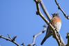 Western Bluebird (Minder Cheng) Tags: westernbluebird brionesregionalpark martinez california unitedstates us