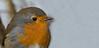 My little friend Robin (pe_ha45) Tags: robin rotkehlchen rougegorge pettirosso petirrojo roodborst bird vogel oiseau