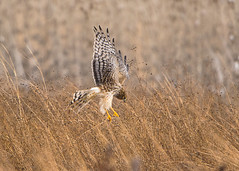 Northern Harrier Hunting (Thomas Muir) Tags: circuscyaneus circus northernharrier marshhawk ohio woodcounty tommuir female hunting nikon 600mm d800