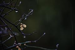 Lluvia II (Ignacio M. Jiménez) Tags: lluvia rain gotas drops ramas branches layedra jaen andalucia andalusia españa spain