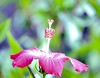 DSC_5471 1e ~ Hibiscus Flowers (BDC Photography) Tags: pipecreek texas usa bwfpro77mm010uvhaze1xmrcfilter nikonafiteleconvertertc14e14x nikonafsnikkor300mmf4difedlens nikondslrcamera nikon nikond3 hibiscus flowers red slikpro700dxamttripod macroflowerlovers