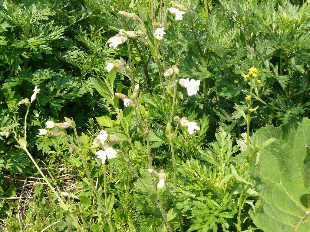 Silene latifolia ssp. alba1