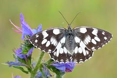 Melanargia galathea (alfvet) Tags: macro farfalle butterflies nikon d5200 sigma150 veterinarifotografi parcodelticino natura nature insetti ngc npc