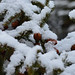 Fresh Snow (TheNovaScotian1991) Tags: nikond3200 afsdxnikkor55200mmf456gedvrii afsdxzoomnikkor55200mmf456ged novascotia canada victoriapark pinecone freshpowder snow january truro colchestercounty forest winter reservoir trees pineneedles maritimes morning