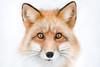 That Face! (Alicja Zmysłowska) Tags: fox red redfox wildlife wild life pet pets animal animals winter snow eyes symmetry