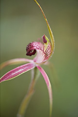 Pretty Woman (setoboonhong ( Back and catching up slowly)) Tags: nature outdoor wireless hill perth wild orchids flower close up depth field bokeh colours caladenia wildorchid