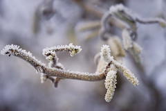Schneeweidenkätzchen :) mit dem Leitz Apo Telyt 3.4/180 (Julie s Photo s) Tags: leitz leica sony bokeh bokehlicious nature snow frozen