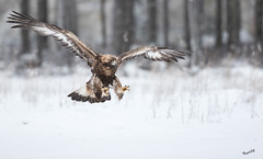 The king is coming (MatsOnni) Tags: maakotka aquilachrysaetos goldeneagle raptors birds linnut petolinnut