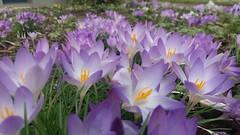 Crocus fields (yve_all) Tags: krokus crocus blumen flowers natur nature licht light farben colours blickwinkel view