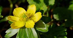 Aconite (yvonnepay615) Tags: panasonic lumix gh4 flowers aconite walsingham norfolk eastanglia uk ngc