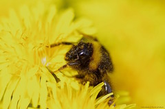 Bee on dandilions....... (favmark1) Tags: 2017 365 day100 365challenge bee dandiliuon flower yellow pollen spring