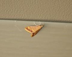 5053 Pyrausta pseudonythesalis, Moth (tripp.davenport) Tags: bigspringsranch realcounty tx lepidoptera moth pyraustapseudonythesalis 5053