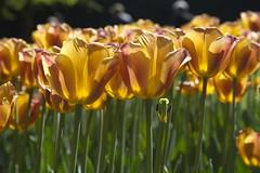 _DSC0739 (Riccardo Q.) Tags: parcosegurtàtulipani places parco altreparolechiave fiori tulipani segurtà