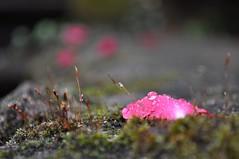 Rosenblatt im Regen (Uli He - Fotofee) Tags: nikon rosen makro rosenblatt garten uli ulrike regen wein frauenmantel sommerregen ringelblume hergert prachtwinde nachdemregen nikond90 gartenparadies fotofee amtagalsderregenkam ulrikehe ulrikehergert ulihe