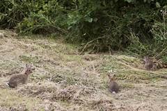 Wild Rabbits. (clicka13) Tags: camera wild rabbit nature animal animals canon mammal photography wildlife photograph rabbits mammals tyneside teleconverter photographing extender kenko 100d kenko2xpro300 caf2xtelepluspro300