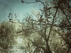 amalanchier (lesbru) Tags: tree exterior throughglass amalanchier