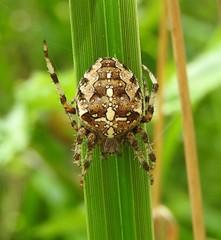 Anglų lietuvių žodynas. Žodis garden spider reiškia sodo voras lietuviškai.
