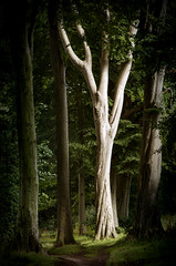 Beech tree in the woods... (DM Allan) Tags: trees tree forest woodland beech
