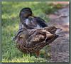 Mrs. Duck (gtncats) Tags: park nature female outside outdoors duck mallard potofgold photographyforrecreation allnaturesparadise